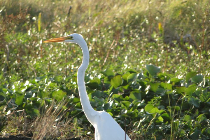 See egrets and other animals on an airboat tour through Louisiana's swamps.