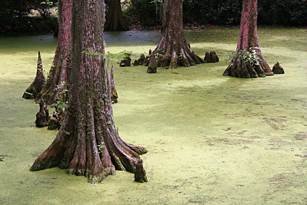 louisiana swamp wildlife cypress tree tour