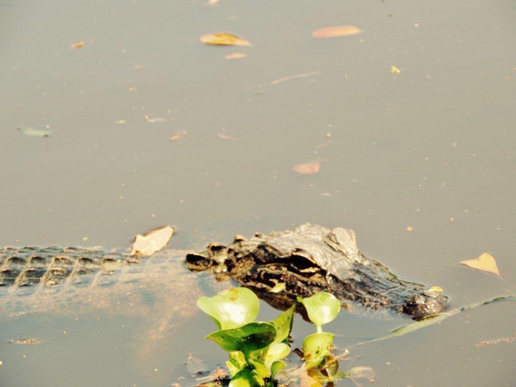 louisiana alligator tour