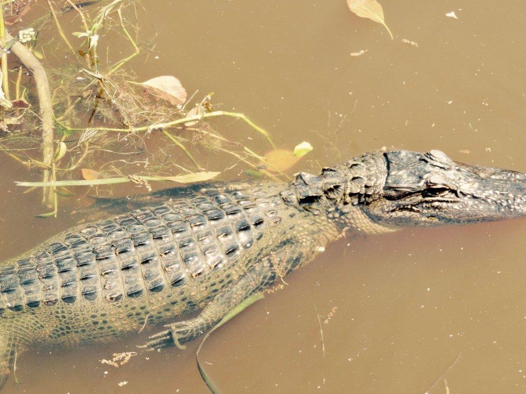 alligator tour new orleans