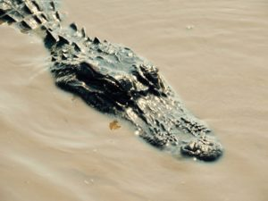 where to find alligators in new orleans
